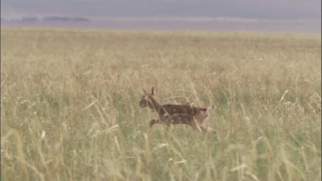 newborn mongolian gazelle fawn on steppe, mongolian steppe - fawn stock videos & royalty-free footage
