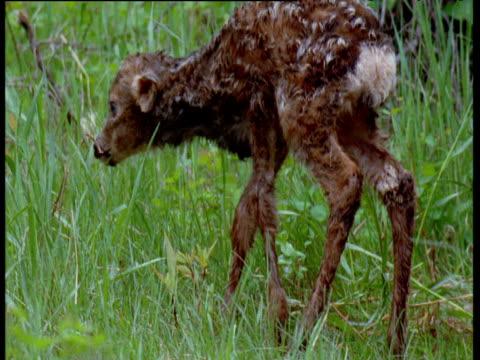 vídeos de stock, filmes e b-roll de newborn mule deer wobbles on its feet in long grass, canada - filhote de animal