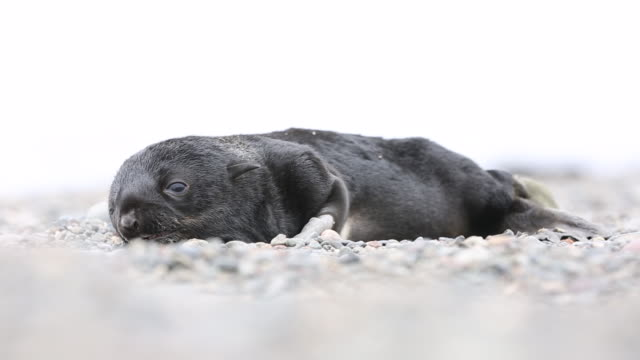 newborn northern fur seal pup, tyuleny island - seal pup stock videos and b-roll footage