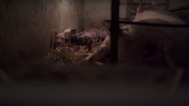 newborn piglets exploring pig barn near sow at the farm - animal nose stock videos & royalty-free footage