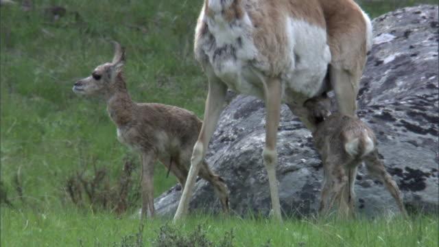 newborn pronghorn antelopes (antilocapra americana) suckle, yellowstone, usa - femmina di daino video stock e b–roll