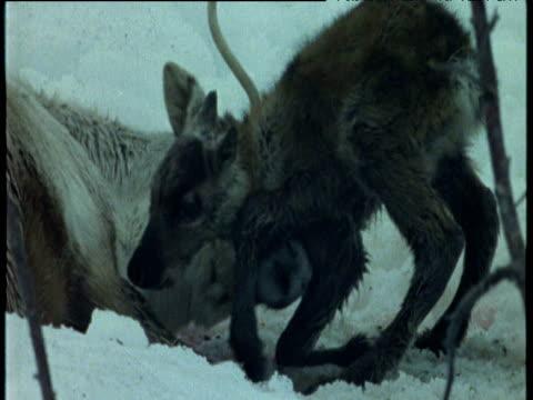 Newborn reindeer tries to stand whilst mother licks it clean, Scandinavia