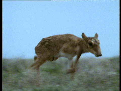 newborn saiga walks and suckles, kazakhstan - female animal stock videos & royalty-free footage