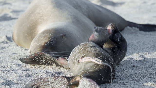 a newborn seal pup plays with its fins while its mother sleeps undisturbed on sandy beach - galapagos islands, ecuador - seal pup stock videos & royalty-free footage