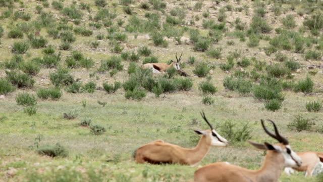 vídeos de stock e filmes b-roll de newborn springbok being cleaned by its mother, kgalagadi transfrontier park, south africa - cinco animais
