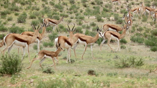 Newborn Springbok gets knocked off its feet by frightened herd, Kgalagadi Transfrontier Park, South Africa