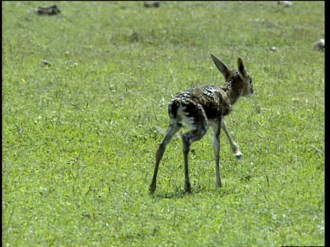 newborn thomson's gazelle tries to stand but falls over - calf stock videos and b-roll footage