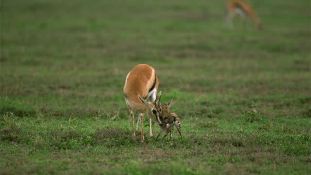 vídeos y material grabado en eventos de stock de ms, selective focus,  newborn thomson's gazelle (eudorcas thomsoni) trying to send up and suckle, serengeti national park, tanzania - cervato