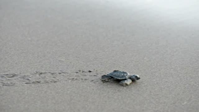Pasgeboren schildpadden kruipen naar de zee