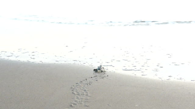 newborn turtles crawling to the sea - green turtle stock videos and b-roll footage