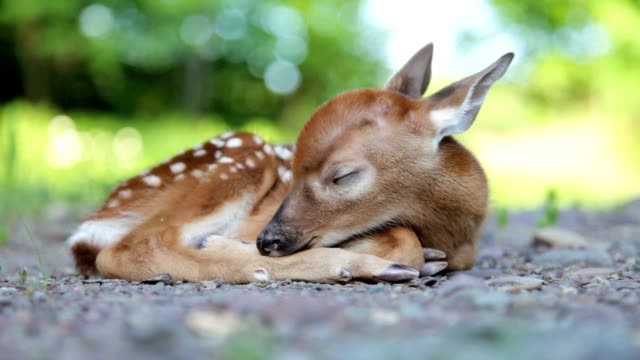 newborn white-tailed deer fawn, sleeping, 2 video clips - fawn stock videos & royalty-free footage
