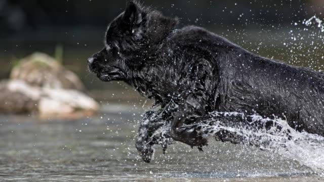 slo mo ts neufundländer hund läuft bei sonnenschein ins wasser - erfrischung stock-videos und b-roll-filmmaterial