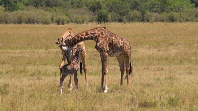 ms newly born baby giraffe with mother and older sister in masai mara national park audio / masai mara, rift valley, kenya - giraffe stock videos & royalty-free footage