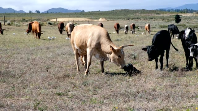 newly born calf - cattle stock videos & royalty-free footage
