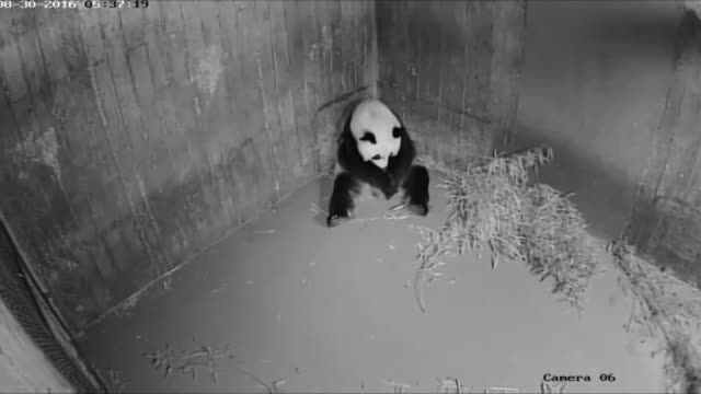 vídeos y material grabado en eventos de stock de a newly burn giant panda cub lies in a cot where vets examined her at the madrid zoo in madrid spain on august 31 2016 the baby panda which was born... - panda animal