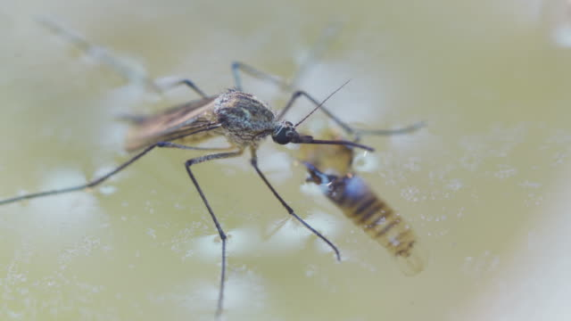 newly emerged mosquito on water habitat - emergence stock videos & royalty-free footage