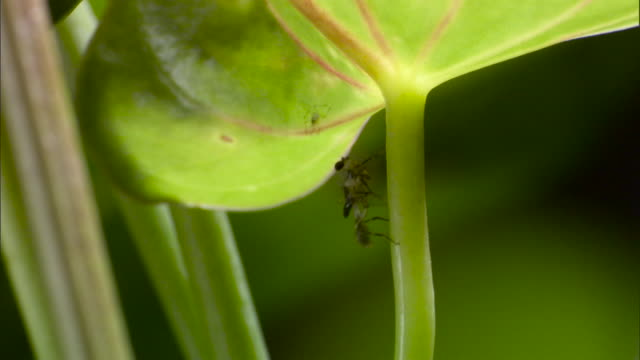 vídeos de stock e filmes b-roll de newly emerged stalk eyed fly climbs plant - caule de planta