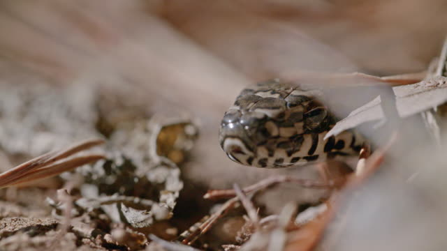 newly hatched baby garter snake in the dmz (demilitarized zone between south and north korea), goseong-gun - south korea stock videos & royalty-free footage