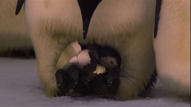 a newly hatched emperor penguin chick tries to escape its eggshell. - jungvogel stock-videos und b-roll-filmmaterial