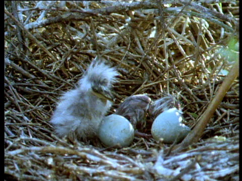 newly hatched grey heron chick in nest, volga delta - bunter reiher stock-videos und b-roll-filmmaterial