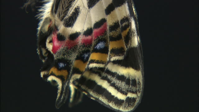 a newly hatched japanese luehdorfia butterfly displays its beautiful wings. - schwingen stock-videos und b-roll-filmmaterial