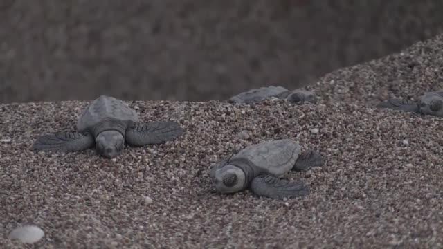 "newly hatched loggerhead sea turtles, also known as ""caretta caretta"", make their way to the sea on cirali beach in turkey's mediterranean resort... - sea turtle stock videos & royalty-free footage"