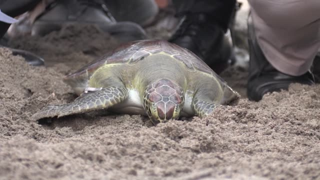 newly hatched loggerhead turtles make their way to the sea following the release of four adult loggerhead turtles in mersin southern province of... - loggerhead sea turtle stock videos & royalty-free footage