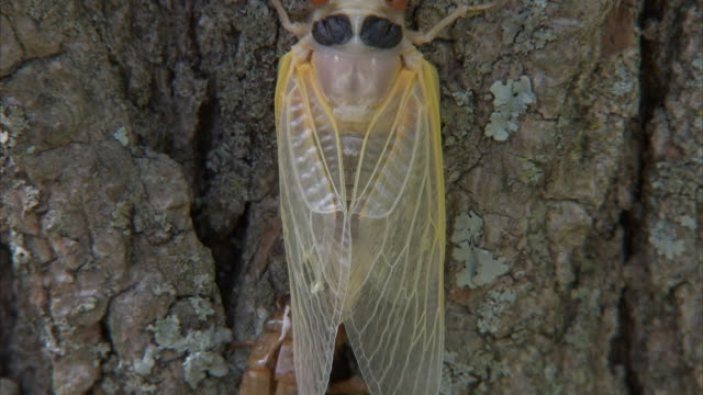 a newly molted cicada clings to a tree trunk. - gliedmaßen körperteile stock-videos und b-roll-filmmaterial