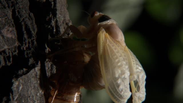 a newly molted cicada emerges from its husk. - gliedmaßen körperteile stock-videos und b-roll-filmmaterial