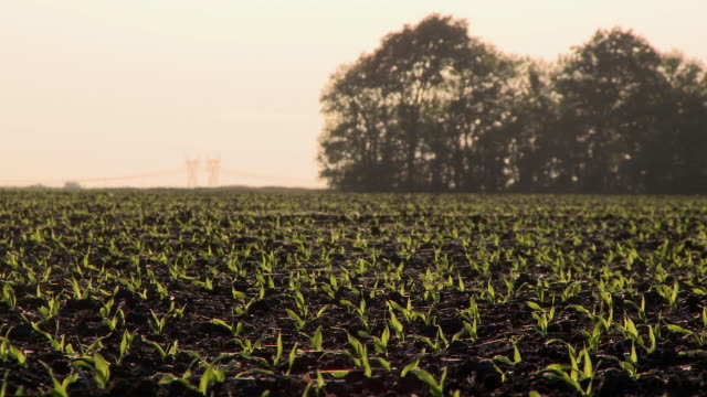 MS Newly planted corn covered in spider webs, Newark, Illinois, USA