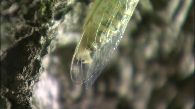 a newly-emerged cicada clings to a gnarl of japanese beech tree in mount chokai in yamagata prefecture, japan. - 鳥海山点の映像素材/bロール