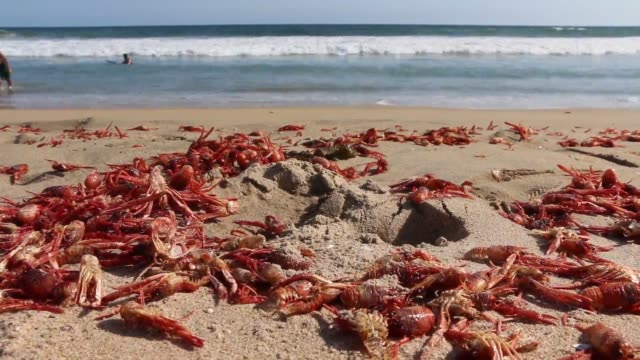 newport beach ca broll of millions of dead red crab on the shores of california in newport beach - newport oregon stock videos & royalty-free footage