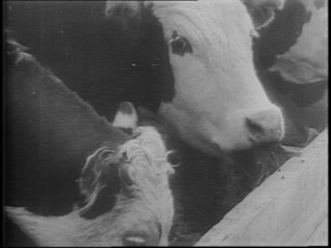 stockvideo's en b-roll-footage met newsreel / canada lifts beef ration / cattle herded across canadian plains / cowboy on horse pulls 2-day old calf across river / cattle across plains... - agrarisch beroep