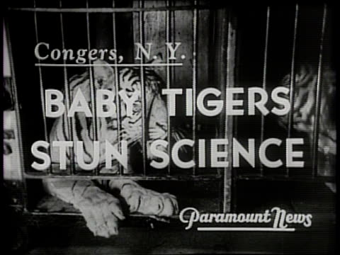 baby tigers stun science / two female tigers in captivity in a zoo give birth to cubs within an hour of each other in congers new york in 1940 / the... - zoo stock videos & royalty-free footage