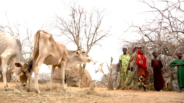 next to straw tents and people two thin cows eat dry grass on july 28, 2011 in road from garisa to dadaab, kenya - thin stock videos & royalty-free footage