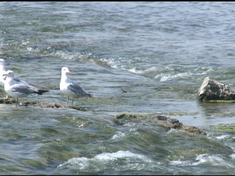 niagara gull 1 - ntsc - medium group of animals stock videos & royalty-free footage