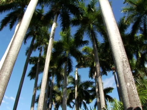 ms, la, tu, nicaragua, managua, palm trees against clear sky - fan palm tree stock videos & royalty-free footage