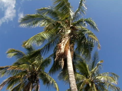 MS, LA, Nicaragua, Managua, Palm trees in wind against clear sky