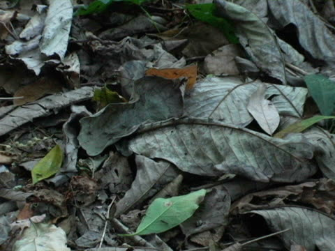 CU, ZO, Nicaragua, Managua, Poisonous ants scurrying on jungle floor