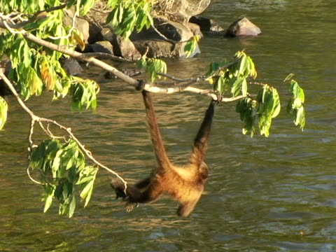 MS, Nicaragua, Managua, Spider monkey hanging on branch over water