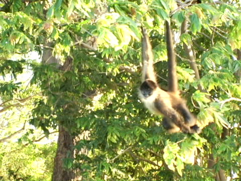 ms, pan, nicaragua, managua, spider monkey hanging on tree - managua stock videos & royalty-free footage