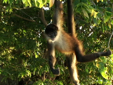 ms, nicaragua, managua, spider monkey hanging on tree - managua stock videos & royalty-free footage