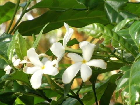 cu, nicaragua, managua, white plumeria flowers - マナグア点の映像素材/bロール
