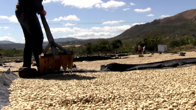 vídeos de stock e filmes b-roll de nicaragua, matagalpa, processing arabian coffee (species coffea arabica) - ancinho equipamento de jardinagem