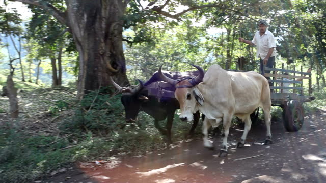 nicaragua, pantasma, pair of oxen pulling a cart - nicaragua stock videos and b-roll footage