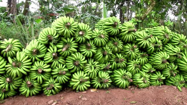 nicaragua, pantasma, pile of freshly picked green bananas or musa - banana stock videos & royalty-free footage