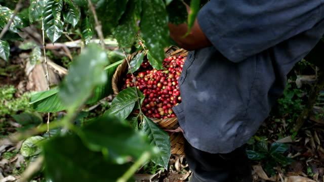 nicaragua, pantasma, processing arabian coffee (species coffea arabica) - 籠点の映像素材/bロール