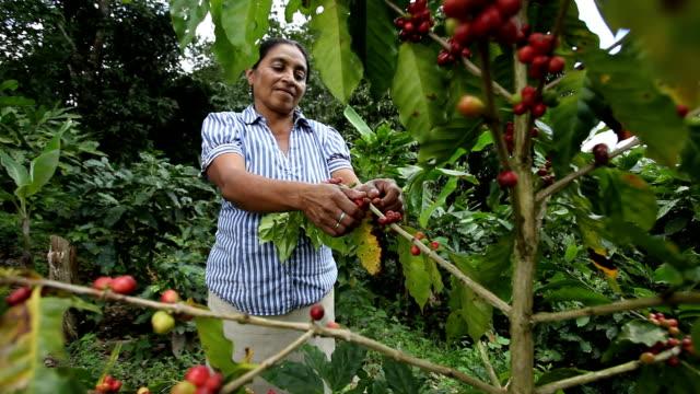 nicaragua, pantasma, processing arabian coffee (species coffea arabica) - nicaragua stock videos & royalty-free footage
