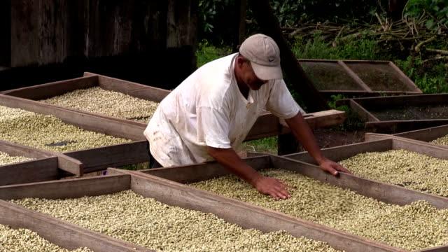 nicaragua, pantasma, processing arabian coffee (species coffea arabica) - ニカラグア点の映像素材/bロール