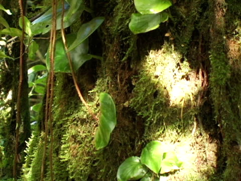 cu, zo, nicaragua, volcan mombacho natural park, sunlight dancing on moss and vine covered tree in jungle - nicaragua stock videos and b-roll footage